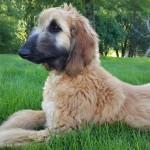 Schedir- cachorro galgo afgano, macho rubio