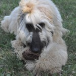 Galgo afgano, afghan hound, lebrel afgano, afganos Escarlata,Vladito pinha 2